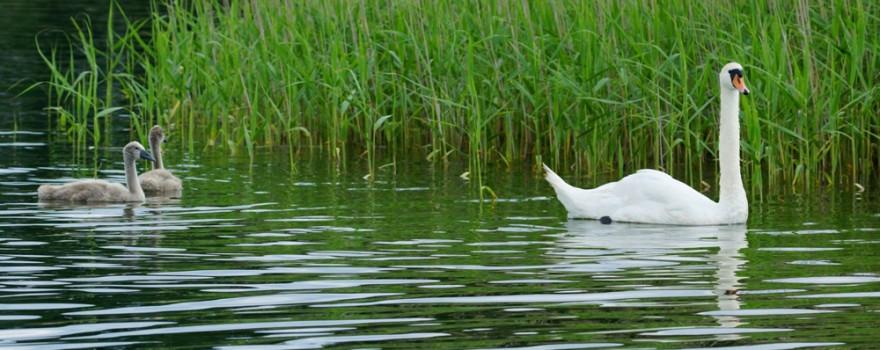 Ptasia grypa w Augustowie. Znaleziono kolejne martwe ptaki